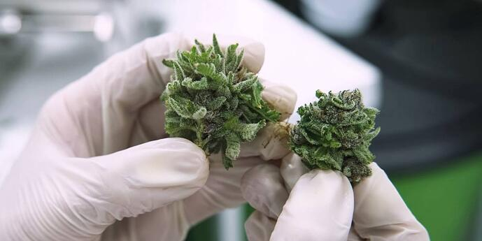 cannabis-in-laboratory-hands-hemp-extraction-services